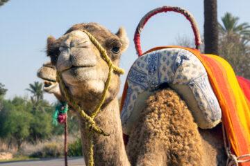 Marrakesch Kamel
